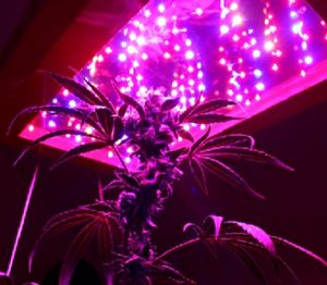 Best LED grow lights - Marijuana under LED grow light1