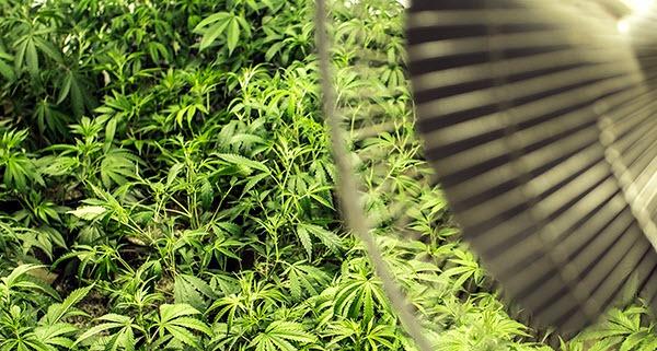 Growing marijuana indoors - fan