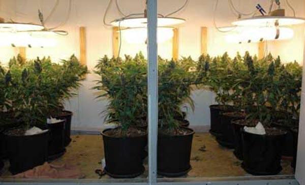 Growing marijuana indoors - induction light