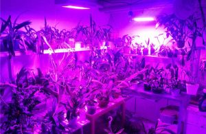 Growing marijuana indoors - LED lights