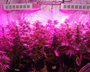 Best LED grow lights - Marijuana under LED grow lights