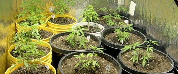Growing marijuana indoors - nursery pots
