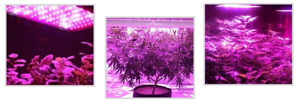 Marijuana grow lights - LED lights