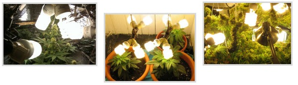 Marijuana grow lights - CFLs