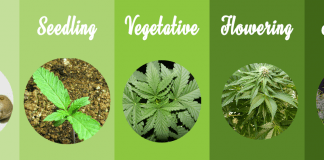 Marijuana grow stages