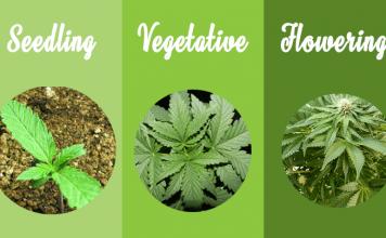 Marijuana grow stages
