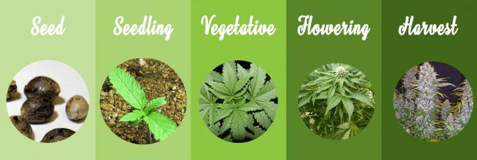 how to grow a marijuana plants