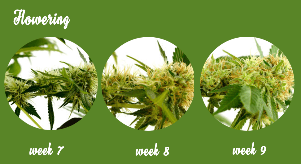 Marijuana growth stages -flowering bud stages
