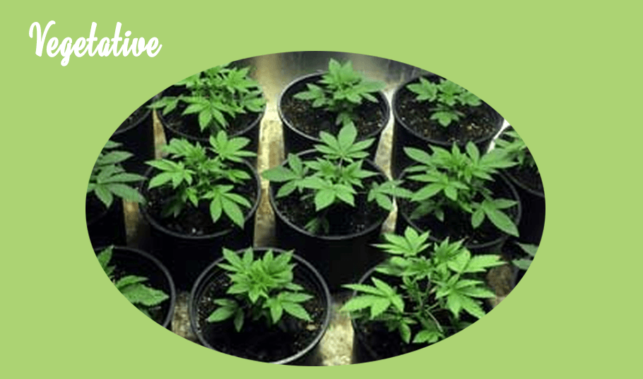 Marijuana growth stages - vegetative plants