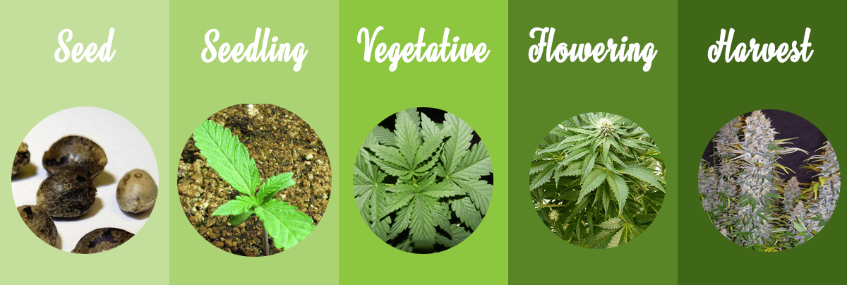 Marijuana growth stages