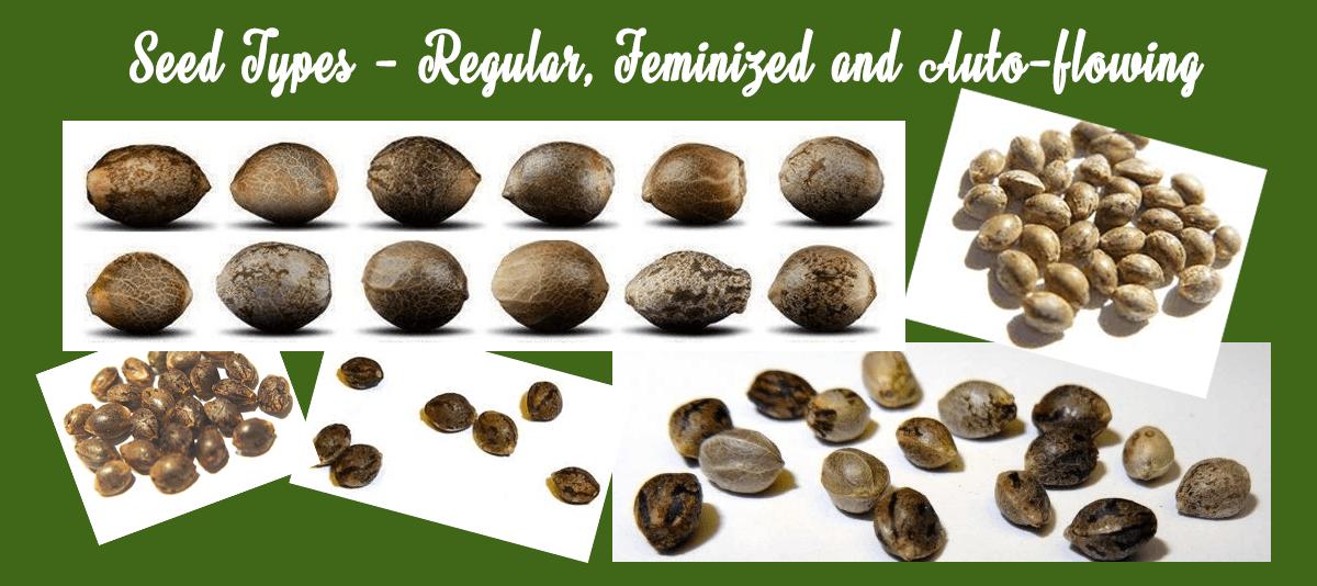 Marijuana Seed Types