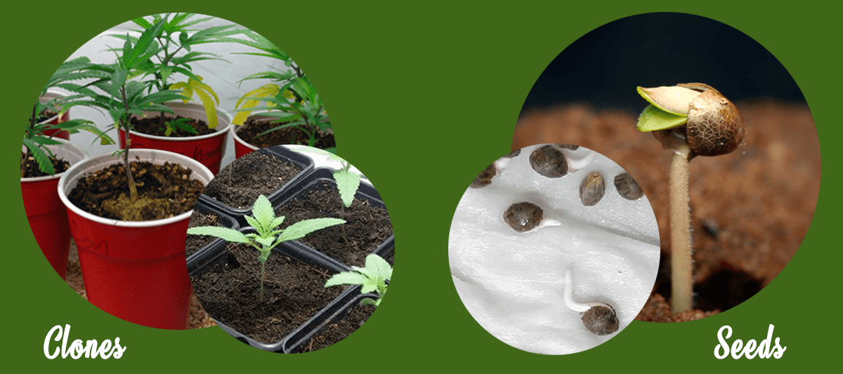 Marijuana seeds vs marijuana clones
