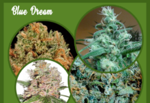 Blue Dream marijuana images
