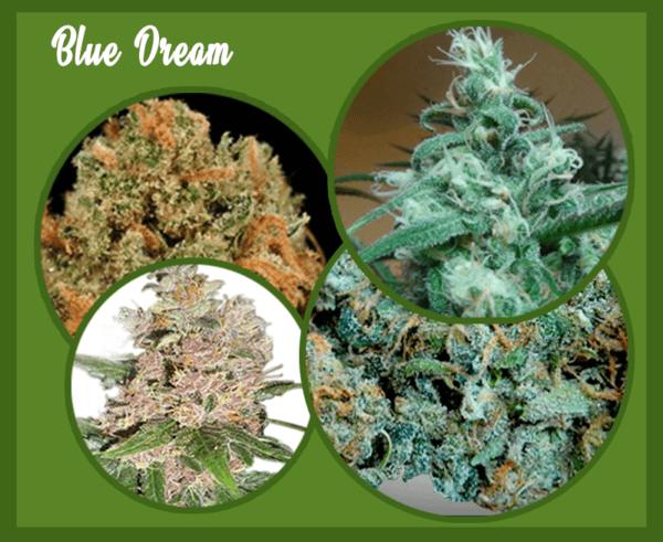 Blue Dream marijuana images