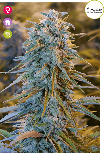Blue Dream marijuana - Seedsman