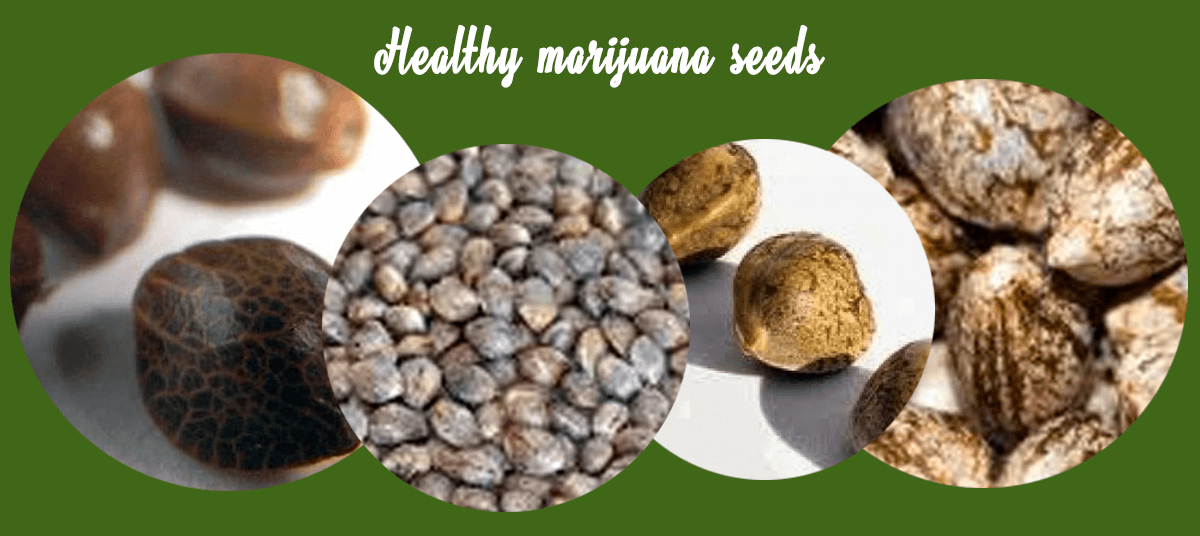 Healthy marijuana seeds