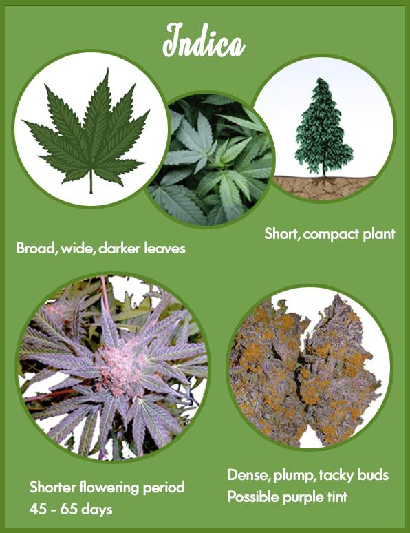 Marijuana strains - Indica marijuana strain characteristics