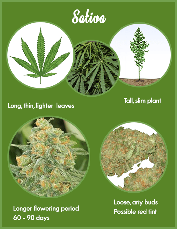 Marijuana strains - Sativa marijuana strain characteristics