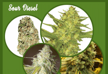 Sour Diesel marijuana images