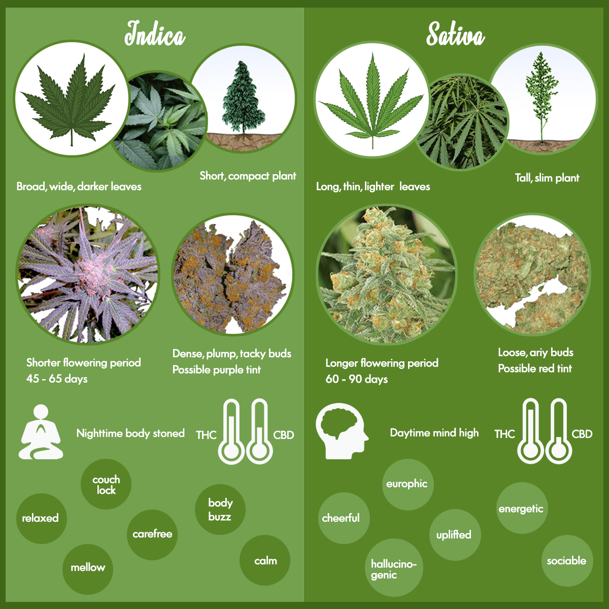 Marijuana strains - Sativa and Indica marijuana strains