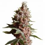 Strawberry Kush strain - ILGM