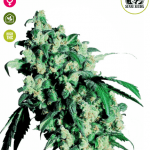 Super Skunk marijuana - Seedsman