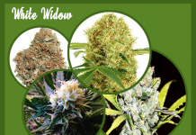 White Widow Marijuana Plants