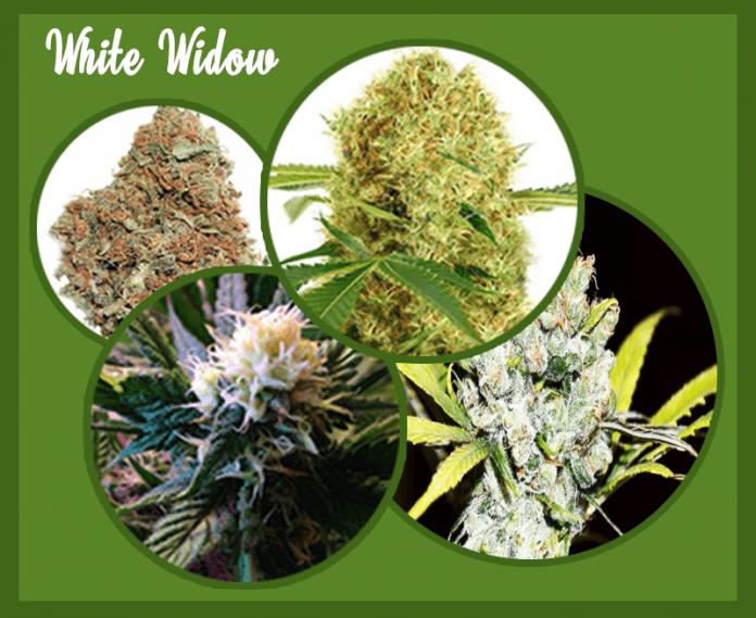 White Widow Marijuana Plants
