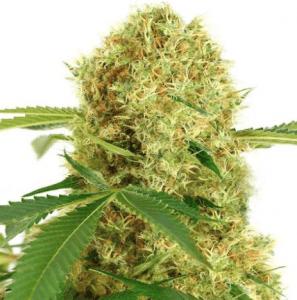 White Widow marijuana - ILGM