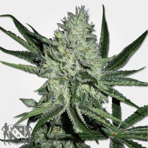 White Widow marijuana - MSNL