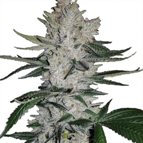 GG$ or Gorilla Glue #4 strain - ILGM