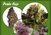 Purple Haze strain images