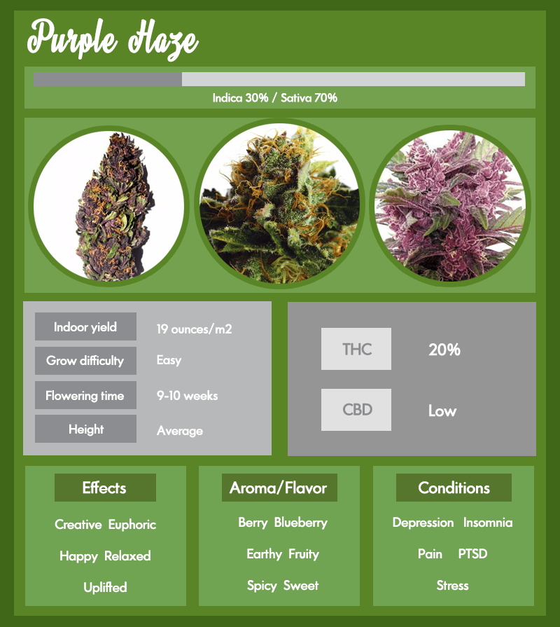 Purple Haze strain infographic